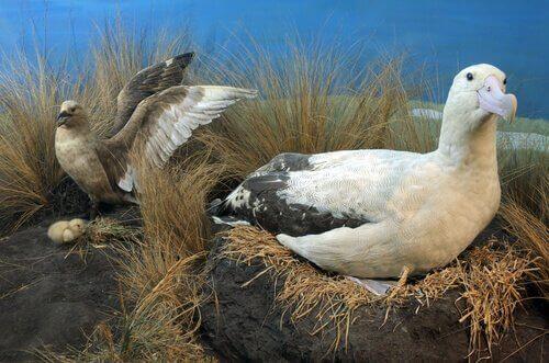 Den nuvarande situationen för den gulnackade albatrossen