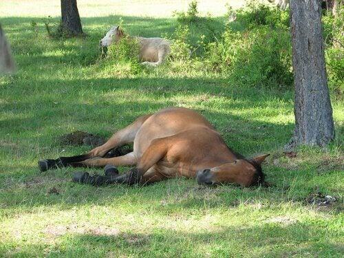 En häst som sover på gräsängen.