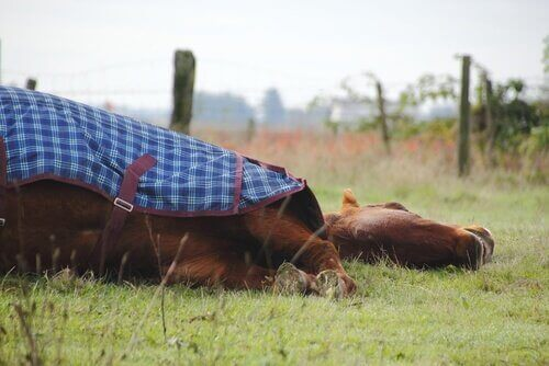 Hästar sover, men gör de det stående eller liggande?