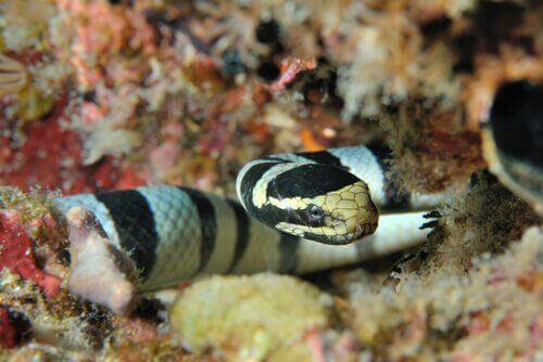 Havsorm som simmar i korallrev.