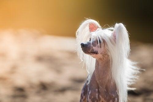 Lär dig om några intressanta och konstiga hundraser