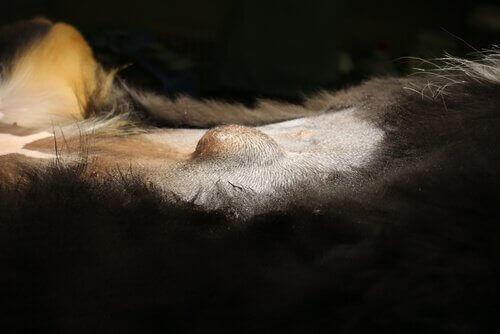 Navelbråck syns som en bula på en hunds mage.
