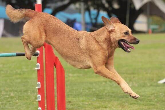 Tips för att ta med hunden till hundtävlingar