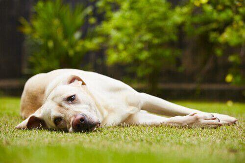 Hund som ligger på gräsmatta.