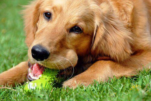 Hund som tuggar på leksak.