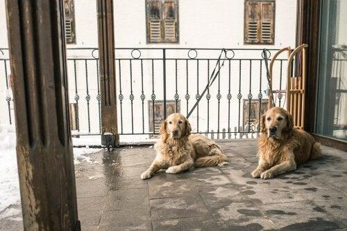 Hundar på balkong.