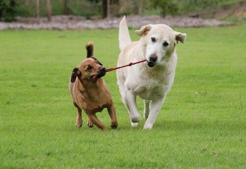 Hundar som drar i rep.