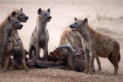 Hyenor i grupp.