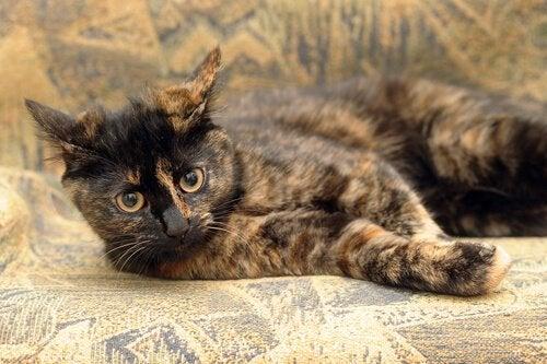 Calicokatter: katter med unika färgmönster på pälsen
