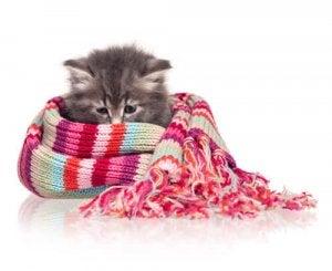 Kattunge invirad i en halsduk.