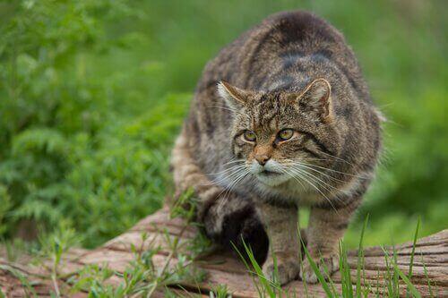 Katt i naturen.