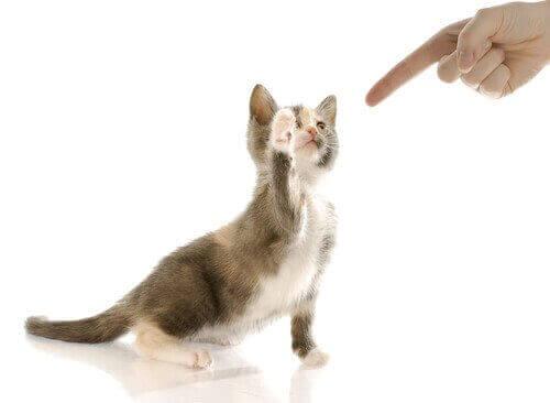 Katt som tränar med sin ägare.