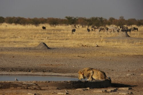Lejon dricker vatten ur en oas i Namibias öken.