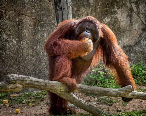 Orangutang äter en bit frukt.
