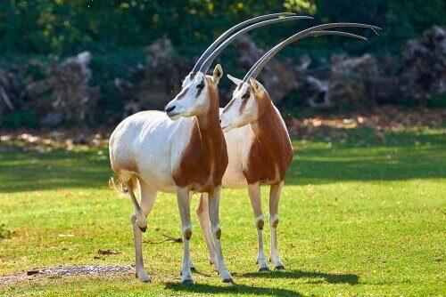 Två sabeloryx tittar ut över savannen.