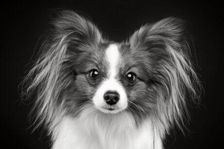 Svartvitt foto av liten hund.