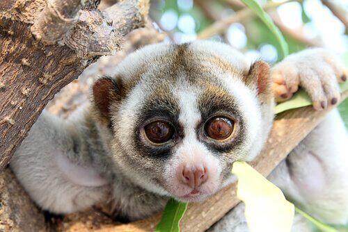 Tröglorier: primater som ofta misstas för sengångare
