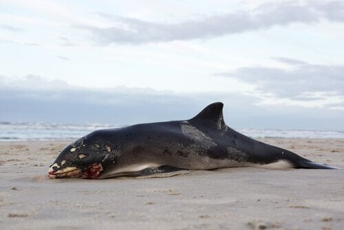 Varför valar exploderar efter att de har dött