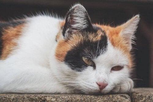 Anemi hos katter: symptom, orsaker och behandling