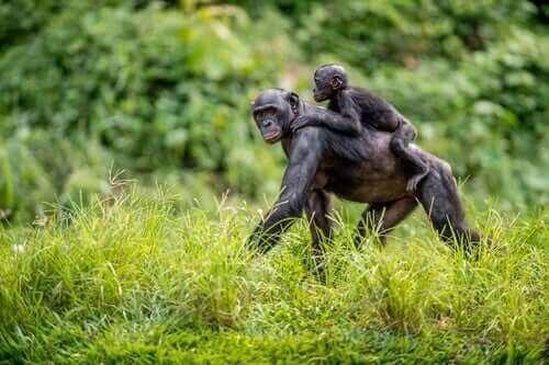 Bonobon hjälper sin avkomma att hitta en partner