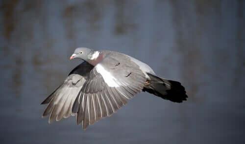 Spanska duvor: Flygande ringduva