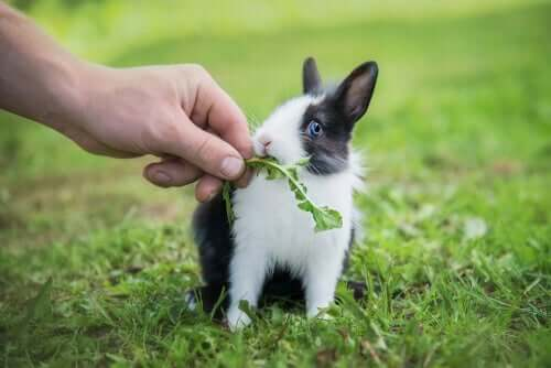Kanin får ett maskrosblad
