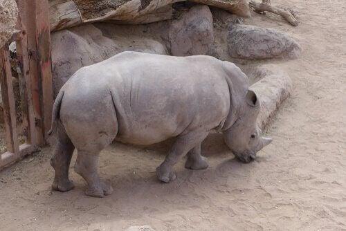 Många djur riskerar utrotning, men är alla i fara?