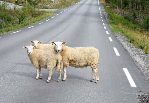 Påkörda djur: boskap och djurliv i fara