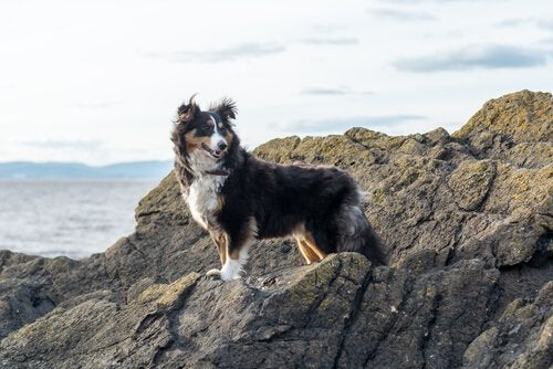 En sheltie njuter av blåsten på en klippa.