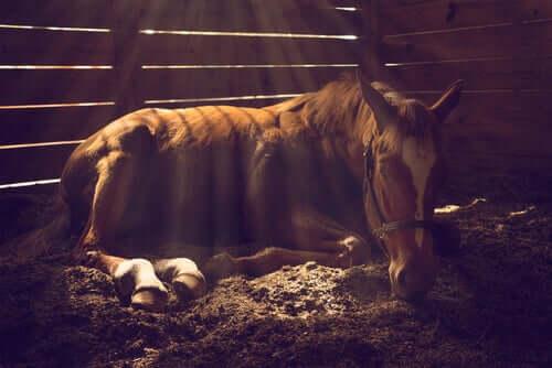 Sjuk häst på marken