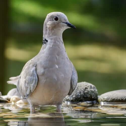 Spanska duvor: Turkduva i vatten
