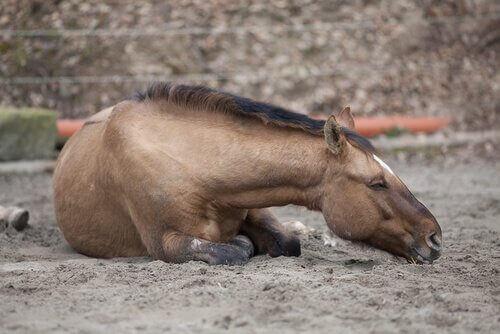 Hästkolik: de olika typerna av kolik hos hästar