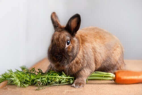 Kaninvård: vad du ska mata din dvärgkanin med