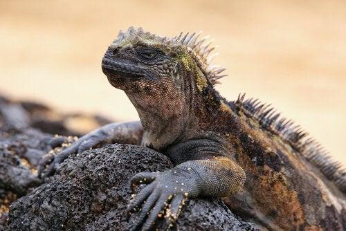Den intressanta havsleguanen är Galapagos härskare