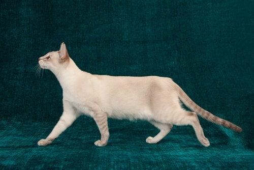 Höftledsdysplasi hos katter: allt du behöver veta