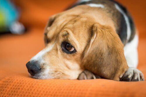 Hund som är ledsen.