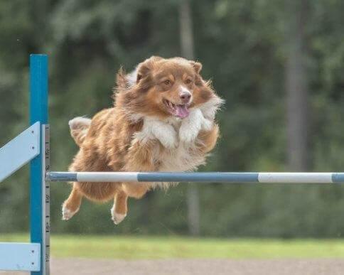 Förbättra hundens smidighet med träning och näring