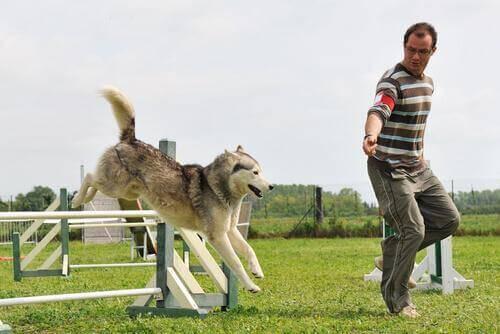 Hund som springer hinderbana.