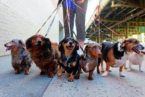Träning med koppel: när hunden vägrar gå på promenad