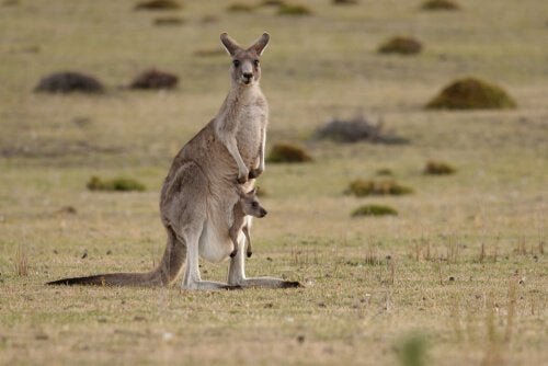 Känguru med unge.