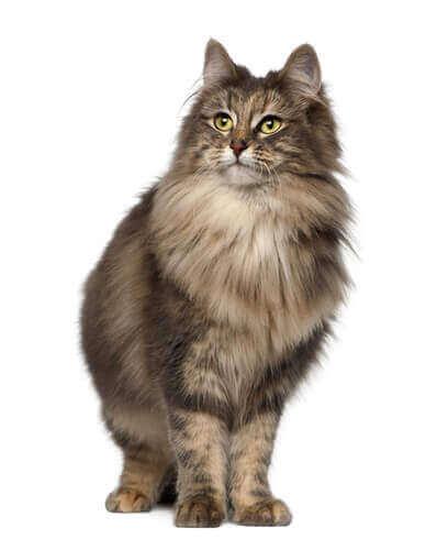 Katt med tjock päls.