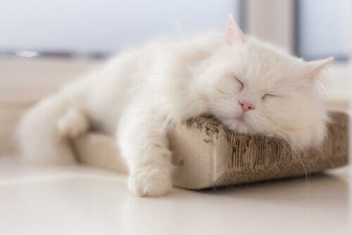 Hur man kan motverka urinvägsinfektion hos katter