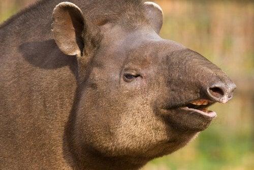 Låglandstapirens kännetecken: en kusin till noshörningen