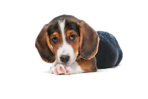 Jakthunden westfalisk dachsbracke – en miniatyrhund