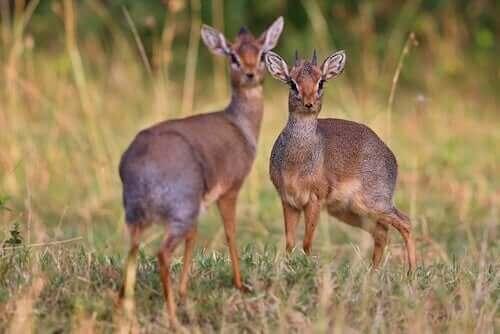 Ett par madoqua piacentinii i sitt naturliga habitat.