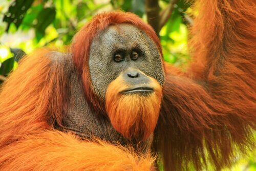 Sumatraorangutangens fysiska egenskaper
