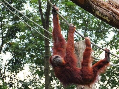 Orangutang i träd.