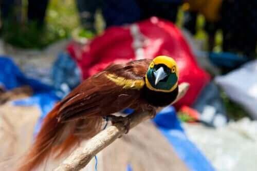 Paradisfågel med ett huvud som ser ut som en gul hjälm.