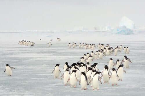 Utrotningshotade pingviner på vandring över isen.