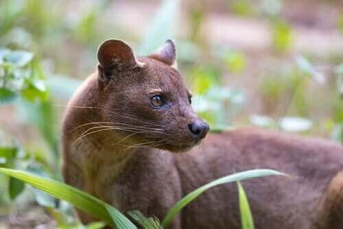 Det unika rovdjuret fossa finns på Madagaskar